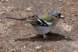 Observação de Pássaros na Ilha da Madeira