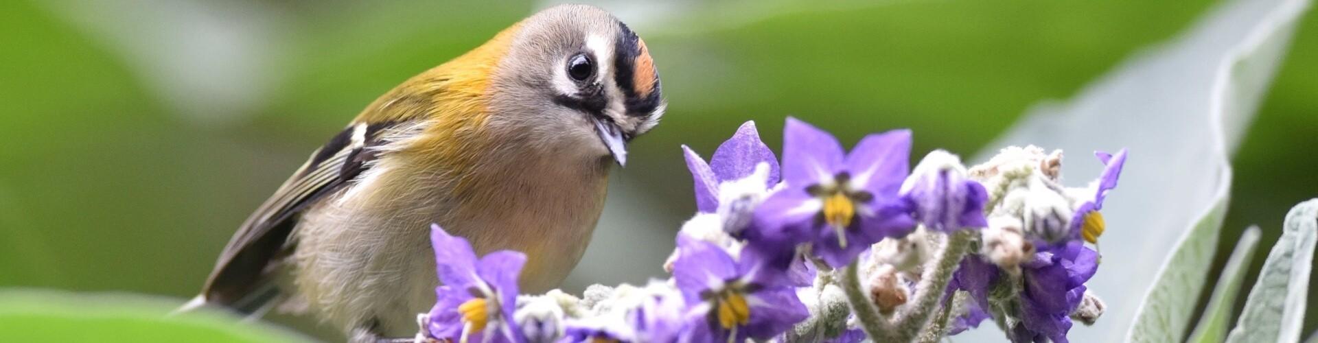 Viagem de Observação de Aves Endemicas da Madeira
