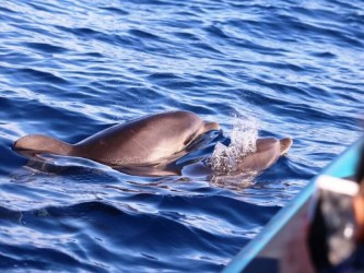 Dolphin Watching Tour in Calheta