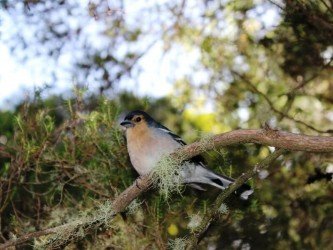 Madeira Birdwatching Trip The Endemics